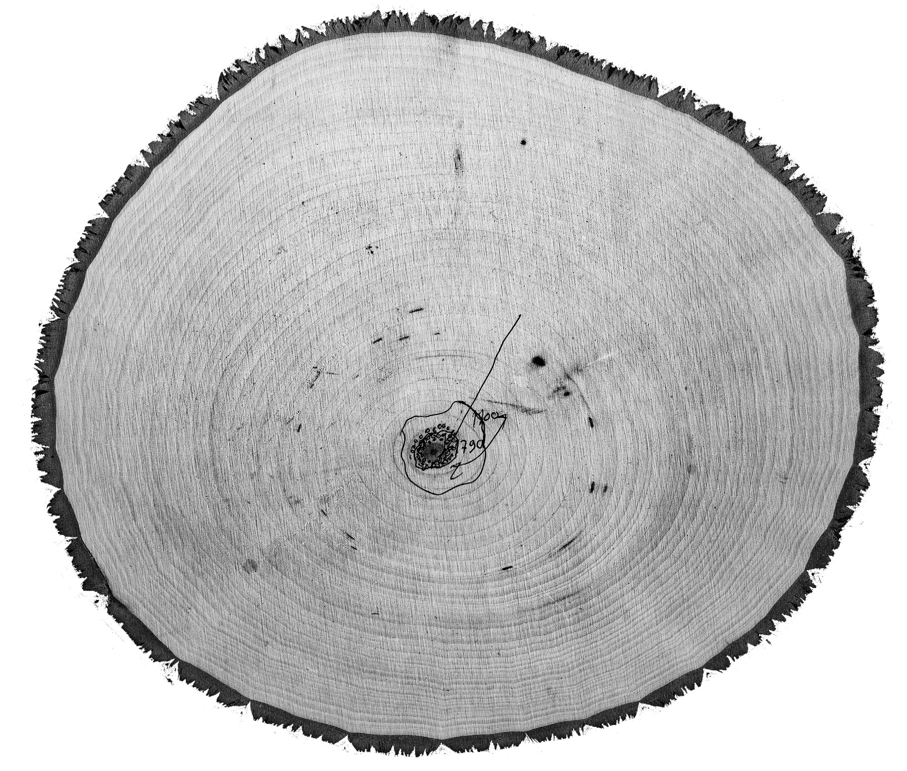 cross section of basswood
